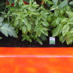 Tomato Plants in an Orange Fiberglass Shower Tub